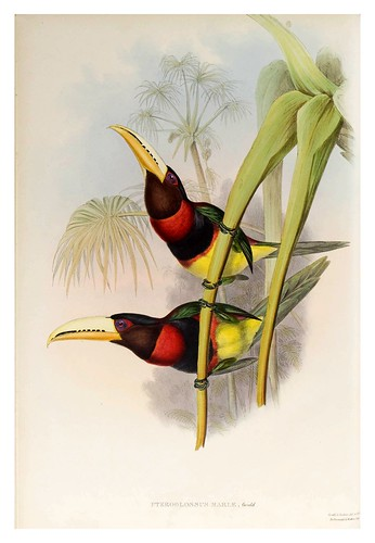 016- Araçari Duquesa de Leuchtenberg-Supplement of the Ramphastidae or family of Toucans Gould John-1855