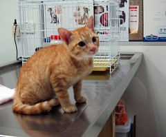 Little Joey's first visit to the vet (stratman (2 many pix and busy)) Tags: cats kittens gatos animalplanet orangecats dfp canonphotography littlejoey friendsoftom kittehs oreengenesses thebiggestgroupwithonlycats friendsofzeusphoebe powershots95