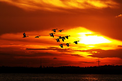 #850C5530- Heading to the north (crimsonbelt) Tags: sunset birds flying wildlife north teals sunda balikpapan