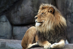 His Royal Highness King Zawadi Mungu (Ian Sane) Tags: male animal oregon cat portland ian zoo big king africa