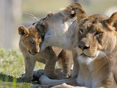 Lionesses & cub at Wild Animal Park in Escondido-08 2-12-08