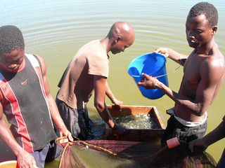 Fingerling sampling, Zomba, Malawi. Photo by Asafu Chijere, 2010
