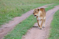 2011-11-08 15-11-44 (Scott Grubb) Tags: masaimara lionpantheraleo kenyanovember2011