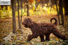 Labradoodle bieg (Australijskie Labradoodle Wlochata Pasja) Tags: doodle labradoodle therapydogs dudle australianlabradoodle australijskilabradoodle labradoodleaustralijski allergyfriendlydogs