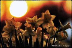 Into the sun (rsteup) Tags: flowers sun flower backlight march spring bokeh daffodils fortwaynein canon60d canoneos60d