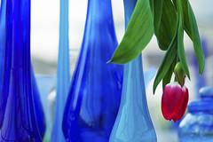 Dutch Tulip (siebe ) Tags: flowers blue red flower holland green dutch spring tulips nederland thenetherlands tulip rgb lente bloemen 2012 keukenhof tulpen bloem tulp voorjaar lisse