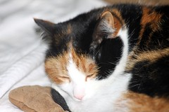 Lily Having A Snooze 001 (Chrisser) Tags: cats ontario canada nature animal animals cat calico ourcatcompanions crazyaboutcats kissablekat kissablekats bestofcats kissablekitties kissablekitty canoneosrebelt1i canonef75300mmf456iiiusmlens boc0312