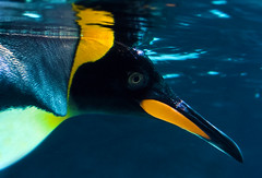 Penguin (pandawizard) Tags: blue water animal yellow prime zoo penguin underwater pentax sigma melbourne ist ds2 30mm matchpointwinner