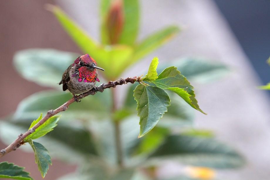 Anna's Hummingbird 100411-2