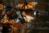 RBMM Enero 2011 (Pablo Leautaud.) Tags: butterfly mexico monarch michoacan mx sierrachincua santuario danausplexipus rbmm chincua pleautaud reservadelabiosferamariposamonarca