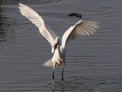 Gara branca pequena / Little Egret (http://jvverde.birdsby.me/v2/) Tags: bird portugal birds inflight natural wildlife birdsinportugal avesemportugal pssaro aves ave douro gaia isidro pssaros oiseau bir gara vogel pjaro cabedelo uccello wildanimals selvagem  riodouro lintu littleegret egrettagarzetta   garabranca  madr esturiododouro emvoo bbbbbbb     onwild emliberdade aoarlivre  nanatureza uccelloaves