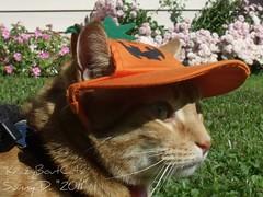 My Hat Serves 2 Purposes.. (KrazyBoutCats) Tags: cats pets halloween animals outside kittens felines orangehat pumpkinhat catswearinghats orangecatwearinghat