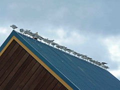 """Ridge of seagulls • <a style=""""font-size:0.8em;"""" href=""""http://www.flickr.com/photos/36398778@N08/6222703222/"""" target=""""_blank"""">View on Flickr</a>"""