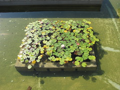 IMG_0542 (Purple Heather) Tags: madrid water pool lily rosegarden lilypond retiropark spainholiday2011 hallgallerybatch1