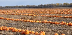 VIEWED ON CTV WINNIPEG WEATHER (Jeannette Greaves) Tags: news field pumpkins farms mayfair ctv 2011 portagelaprairie jspubpic winnipegweather