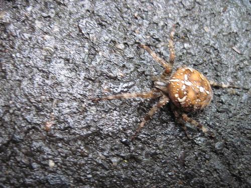 Large Garden Spider