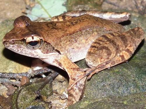 新竹橫山鄉大山背的梭德氏赤蛙。(攝影:Liang-Li Liu)