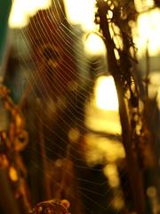 Guess where... Spinnenetz im Morgenlicht (Kpchen) Tags: light sunrise licht morninglight hamburg spiderweb morgenstimmung sonnenaufgan altweibersommer spinnenentz guessedbycrphotographie
