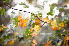 Colouring the Landscape (Olivia L'Estrange-Bell) Tags: autumn autumnleaves autumnsun canoneos5dmarkii oliviabell oliviabellphotography