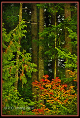 Autumn in the Cascade Mountain Forest.... (P C Chang) Tags: autumn red mountains green forest gold fallcolor douglasfir cascademountain vinemaple mygearandme flickrstruereflection1