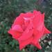 ローズ オオサカ(Rose Osaka)