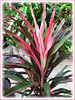 Cordyline terminalis or C. fruticosa (long narrow leaves in various shades of pink and olive green) at a garden nursery