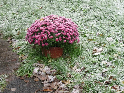 Snow on Mums by elizabeth's*whimsies