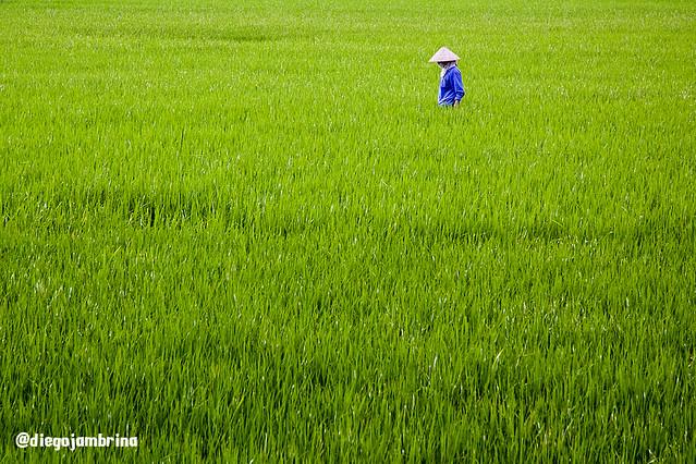 Arrozal en Tam Coc, Vietnam