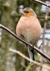 Chaffinch.tif (billdsym) Tags: bird birds scotland sony wwt chaffinch caerlaverock elementsorganizer slt77