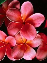 animated-flowers-nokia-c2-01-wallpaper