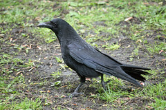 Carrion Crow (queeny63) Tags: carrioncrow elementsorganizer