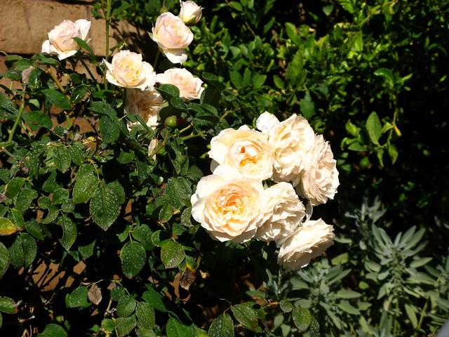 Rose Perdita in garden