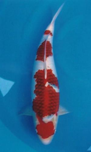 Yagozen Ai Goromo 60cm