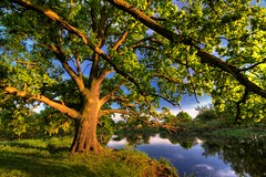 Oak (radoslaw.maciejewski) Tags: oak poland rogalin wielkopolska locha maciejewski radoslaw