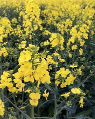 Day 108 (SkipSnaps) Tags: plant flower green yellow rape crop iphone rapeseed iphotooriginal 365project iphotoconverted 3652011