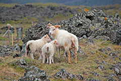 The Spring of the Icelandic sheep (daniel.virella) Tags: lava iceland sheep north lambs sland lavafield northiceland lakemvatn