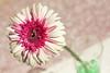 (عفاف المعيوف) Tags: flower وردة زهرة