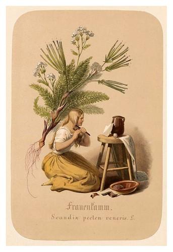 005-Peine de mujer-Illustrirtes Kräuterbuch –Aquarelle- 1870-Adolf Schroedter