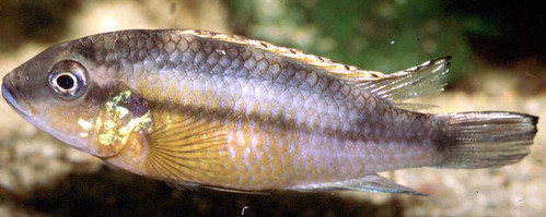 Benitochromis Ufermanni Female, Malawi. Photo by Randall Brummett, 2004