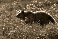 Animal - Grizzly Bear - Alaska (blmiers2) Tags: bear travel vacation usa nature animal alaska sepia photography nikon bokeh wildlife grizzly silverback d3100 blm18 blmiers2