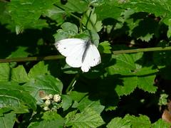 Grosser Kohlweißling Large White (Aah-Yeah) Tags: white butterfly bayern large grosser schmetterling achental chiemgau tagfalter kohlweisling