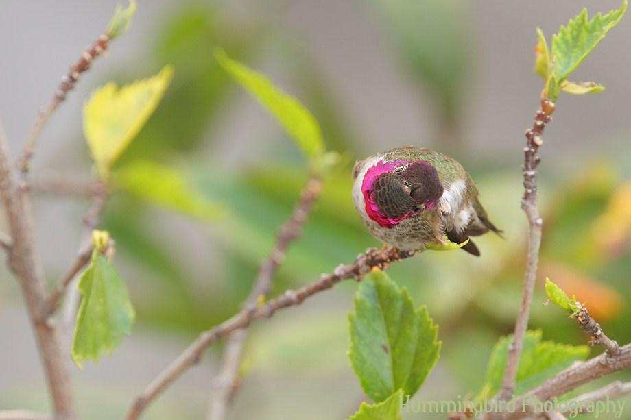 Anna's Hummingbird111311-5
