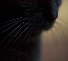 Black Furry Whiskers (Cat Girl 007) Tags: black macro cat fur whiskers salem sooc bestofcats macromonday