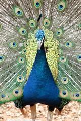 Pavão (Daniel Samonte) Tags: aves da serra pássaros canastra danielsilvasantos estanciadefurnas danielsamonte