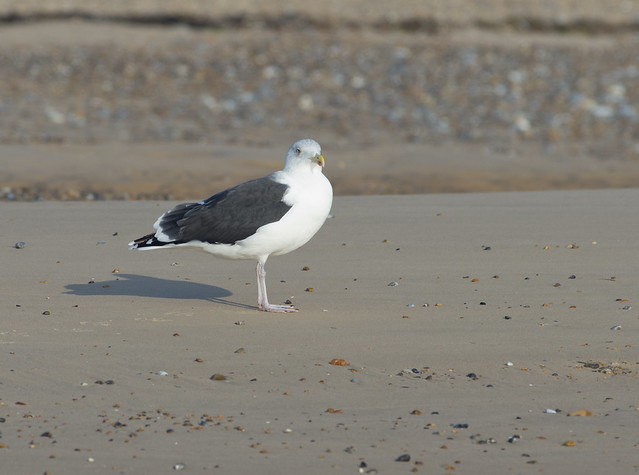 blakeney greater black backed gull