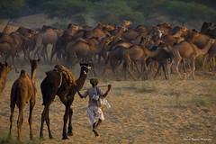 (Bharat Baswani) Tags: light golden evening fair camel pushkar camels rajasthan bharat baswani