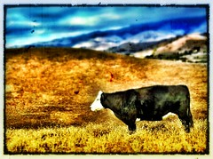 Cow Outting1