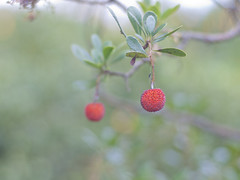 Strawberry Tree (Polotaro) Tags: nature pen berry olympus  zuiko ep1     gzuiko50mmf14