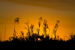 The Glowing End Of a Beautiful and Glorious God-Given Day ....( Explore ) (ac4photos ( More off than on - Computer Woes )) Tags: sunset nikon florida silhouettes wetlands everglades marsh ac goldensunset loxahatchee d300s ac4photos