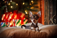 Chihuahua Puppy Piper Under the Tree Waiting for Santa [EXPLORED] (curtisWarwick) Tags: santa christmas light portrait dog pet chihuahua tree puppy bokeh background using chihuahuas gift elite present clause